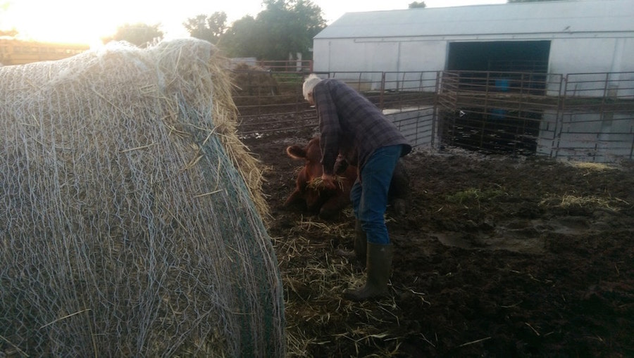 man and cow manly heart hard work